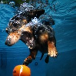 Seth-casteel- diving-dachshund